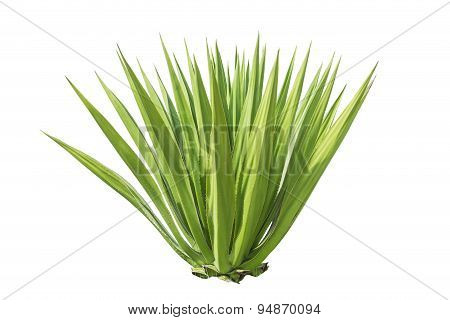 Close Up Green Agave Plant Isolated On White