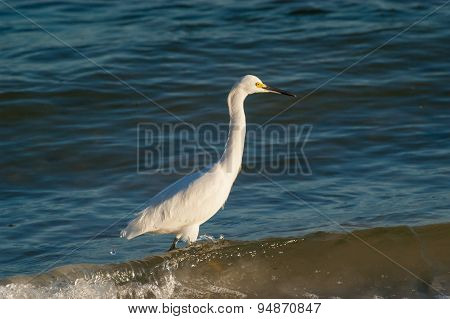 Snowy Egret Wading Through Water
