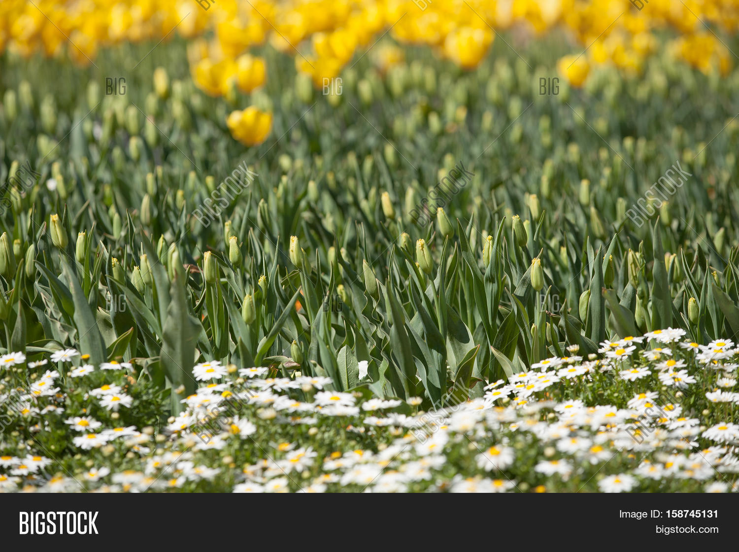 Yellow daffodils image photo free trial bigstock yellow daffodils flower heads about to bloom and other flowers in full bloom at annual flower izmirmasajfo