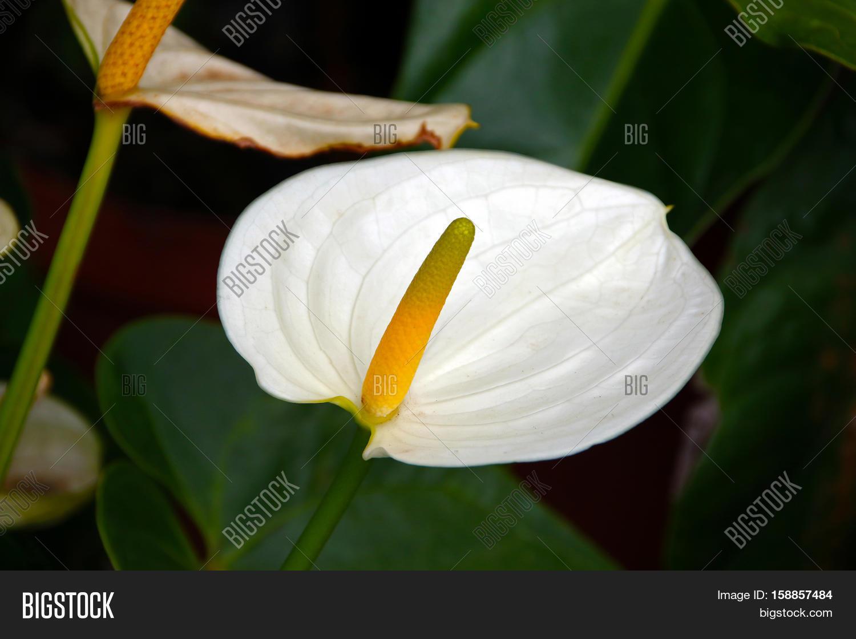 Pure White Anthurium Image Photo Free Trial Bigstock