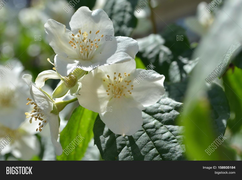 Jasmine Spring Flowers Image Photo Free Trial Bigstock