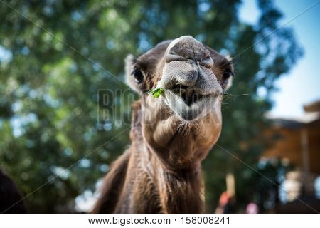 An arabian camel chewing grass - Close up of head from front