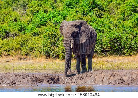 African elephant - single on a watering place in the Okavango Delta. Botswana, Chobe National Park. The concept of exotic tourism