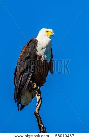 African fish eagle on the background of bright blue sky. The concept of extreme and exotic tourism. Chobe National Park on the Zambezi River, Botswana
