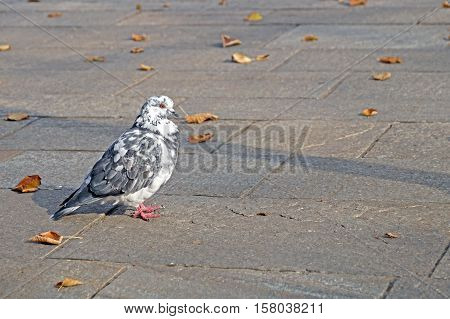 Grey Pigeon. Beautiful  Close Up. City Birds.