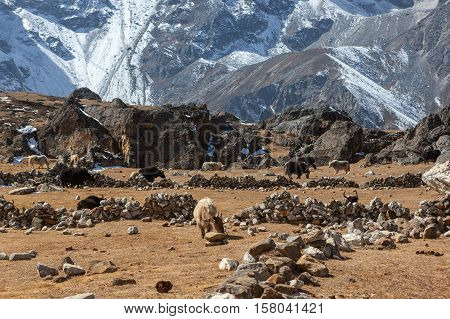 Group Of Black And White Nepali Yaks Grazing On The Pasture Between Rocks In Himalayan Mountains. Wi