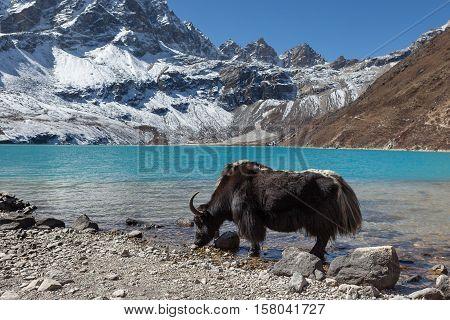 Big Black Himalayan Yak Drinking Water From The Gokyo Lake In Nepal. View Of Amazingly Beautiful Tra