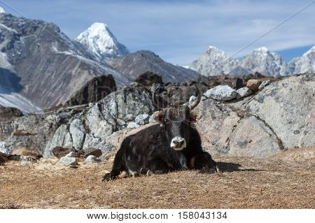 Big Black Nepali Yak With Big Horns Looks Into The Camera In Remote Himalayan Village. Domestic Yak