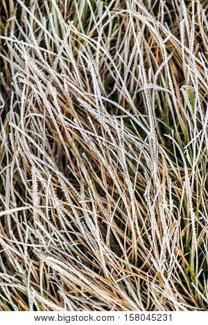 Icy frost on dry tall grass in morning