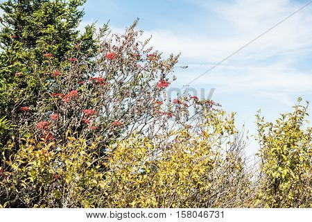 Rowan berry tree with red rowanberries growing in fall against blue sky on top of mountain in West Virginia