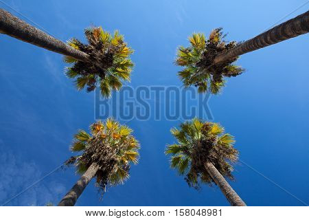 Nice four palm trees in the blue sky. Date palm trees.Perspective view from floor high up