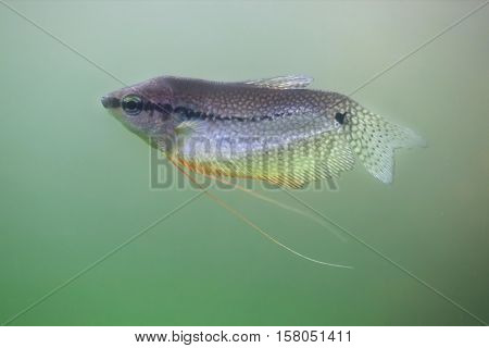 Pearl gourami (Trichopodus leerii), also known as the mosaic gourami.