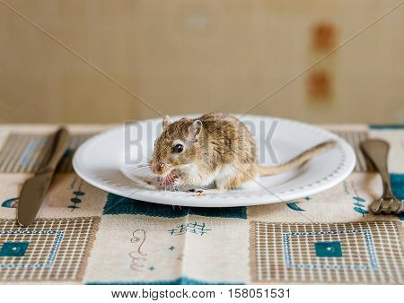 Mongolian gerbil ehave dinner on the table.