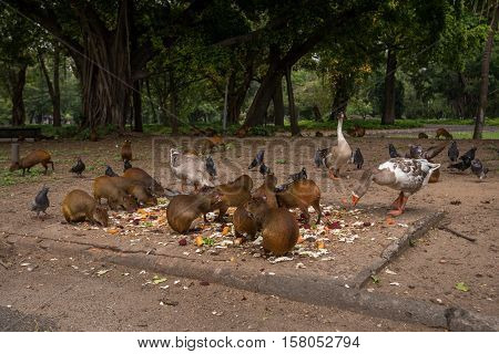 Wild Animals - Agouties, Geese and Pigeons Eating Vegetables in the Park