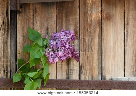 Lilac Branch At The Background Of Wooden Old Boards