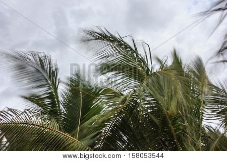 branch coconut trees gently sway in the wind