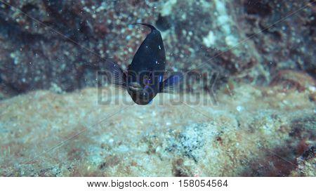 Oceanic Blue Fish
