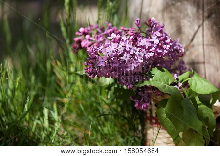 Lilac Flowers In A Wicker Basket, Standing In The Grass