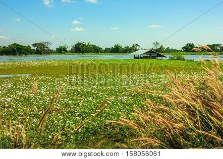flooded rice paddy leaving just duckweeds and roof