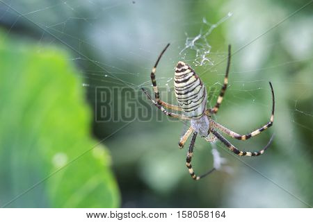 Yellow-black orb-weaver spider. Argiope Bruennichi, or the wasp-spider on the web, cobweb against green natural background, closeup