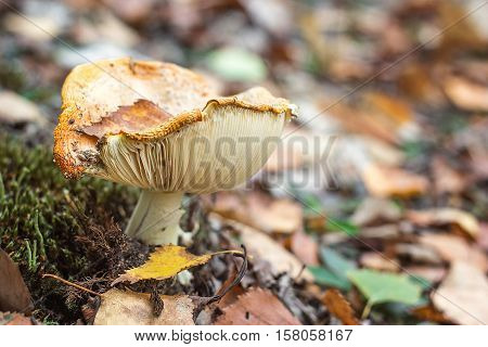Amanita muscaria (Fly Agaric or Fly Amanita) Poisonous mushroom fungus toadstools in forest Bright red mushroom growing top view macro photo Close-up picture of Amanita in nature toxic mushroom fungus