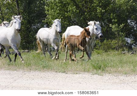 a foal and horses galloping in campaign