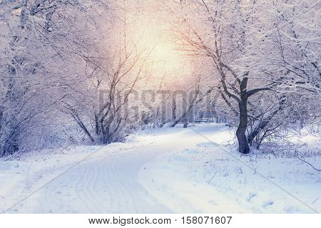 Rising sun shines through trees in park. Winter morning sunrise. White trees in frosty winter morning