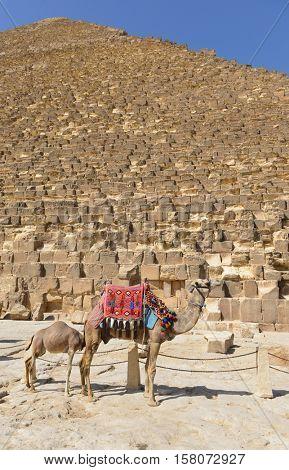 The Camel her calf in Giza Pyramids, Cairo - Egypt