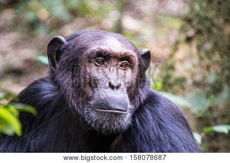 Chimpanzee family Gombe Stream National Park in Tanzania