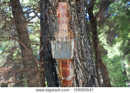 Collecting pine resin from a tree at Agii Anargiroi on the Greek island of Alonissos. Pine resin is a key flavouring in Retsina the traditional Greek wine style.