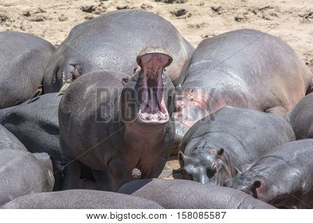 hippopotamus at the pool in Lake Katavi National Park, Tanzania, Africa
