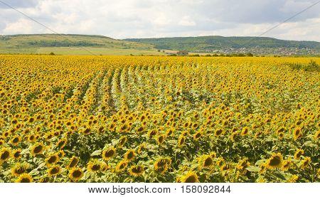 Big field with sunflowers recorded near village Kranevo Bulgaria.
