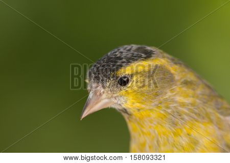 Beautiful yellow and grey canary with a nice plumage
