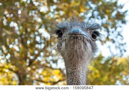 The African Ostrich