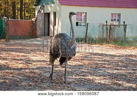 The African Ostrich At The Farm