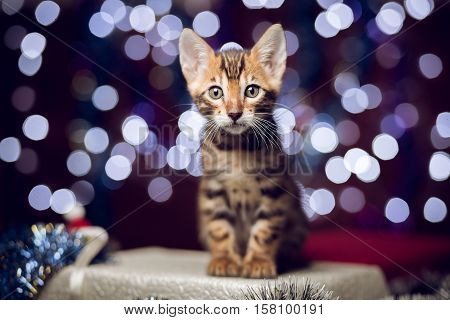 Bengal kitten sitting on a gift box and looking at the camera with bokeh background of Christmas lights, New Year concept, copy space