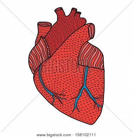 Human heart hand drawn isolated on a white backgrounds