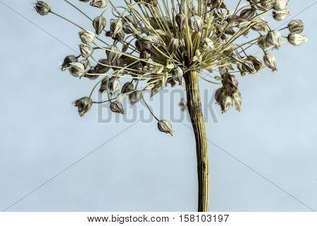 withered flower studio macro closeup white background