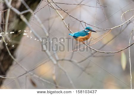Kingfisher (Alcedo atthis) defecating in tree. Common kingfisher in the family energetically discharging poo
