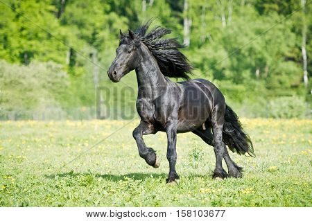 black Friesian horse gallops on the grass in the summer time