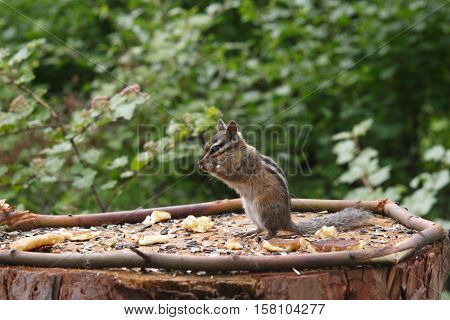 A chipmunk stands at attention  while munching on peanuts