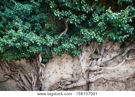 Ivy with a strong trunk. Bakhchisaray, Crimea.