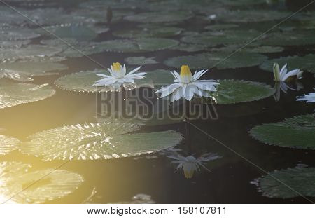 White lotus green leaves. Selective focus and soft flare sunlight.