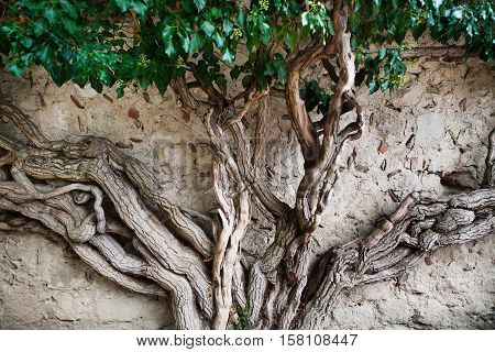 Ivy with powerful trunk on wall background. Bakhchisaray Khan's Palace, Crimea.