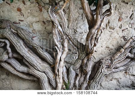 Powerful trunk Ivy on wall background. Bakhchisaray Khan's Palace, Crimea.