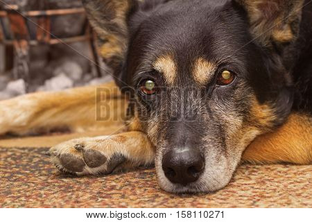 Sad gaze of a sheep dog lying on the carpet indoors