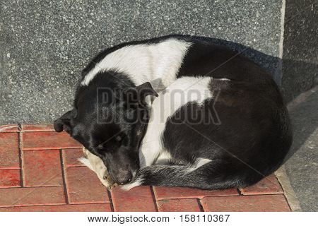 Deadly tired sleeping black and white mongrel dog on pavement