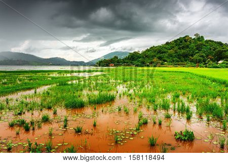 The Lak Lake And Bright Green Rice Field, Dak Lak Province