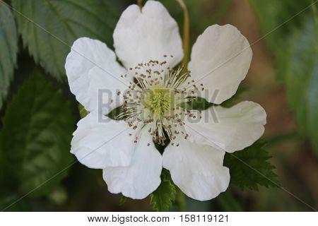 White flower of blackberry newly blooming in San Cristobal de las Casas, Chiapas. Mexico