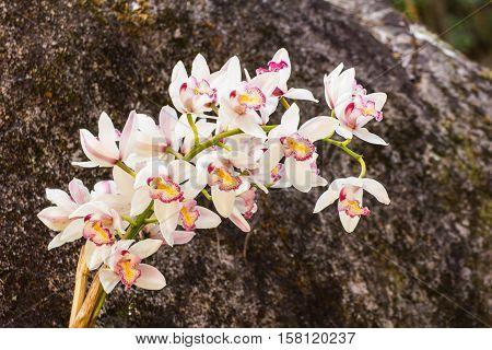 white cymbidium flower , beauty in nature